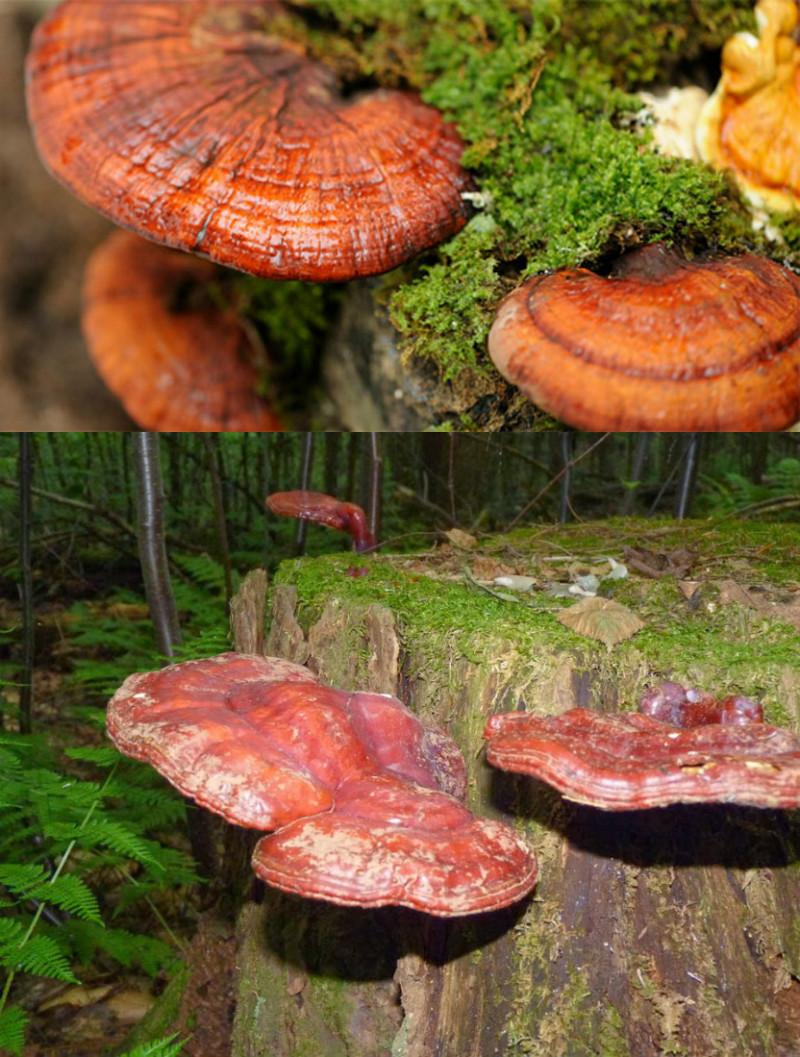 Nấm lim xanh rừng thật được khai thác trong các cánh rừng nguyên sinh