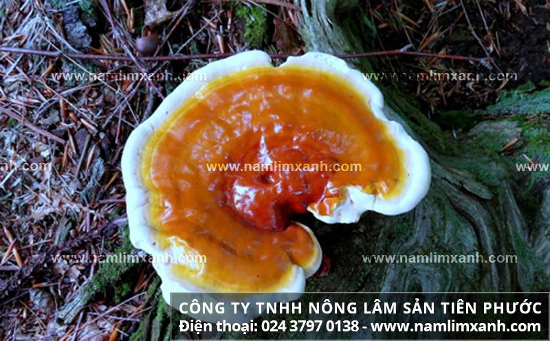 Giá bán nấm lim xanh của công ty nấm lim xanh Tiên Phước mua nấm lim