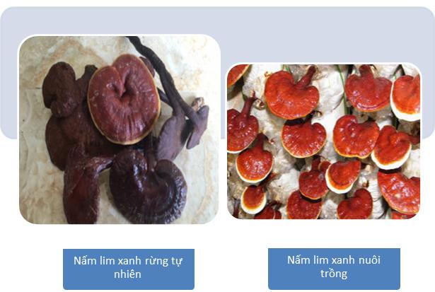 Giá cả nấm lim xanh khác nhau giữa nấm lim xanh rừng tự nhiên và nấm lim xanh nuôi trồng.