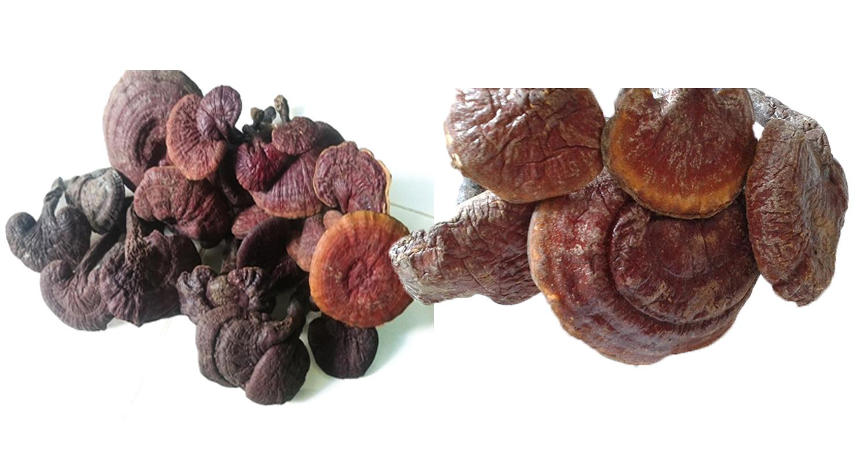 Giá nấm lim rừng ngày càng chênh lệch trên thị trường