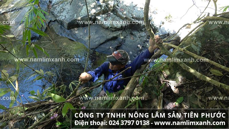 Giá nấm lim xanh Quảng Nam bao nhiêu tiền 1kg và mua nấm lim rừng