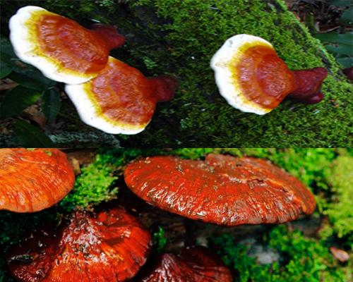 Nấm lim giá bao nhiêu tiền 1kg phụ thuộc vào nguồn gốc, chất lượng, tuổi thọ nấm