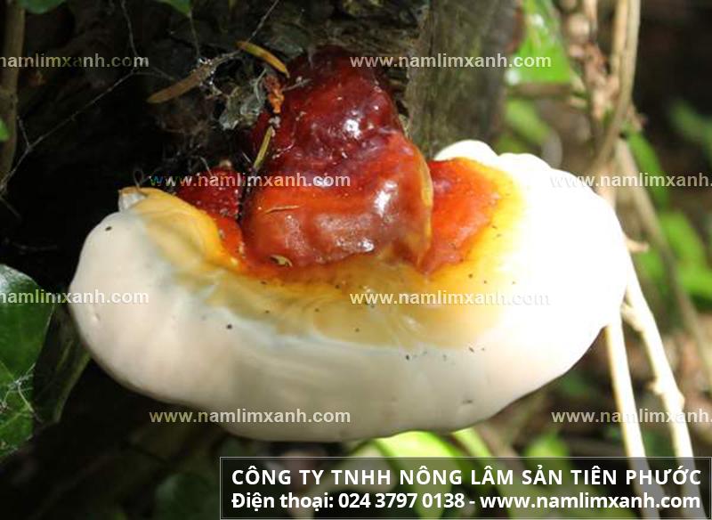 Nấm lim Quảng Nam là gì và cách nhận biết nấm lim xanh thật là gì?