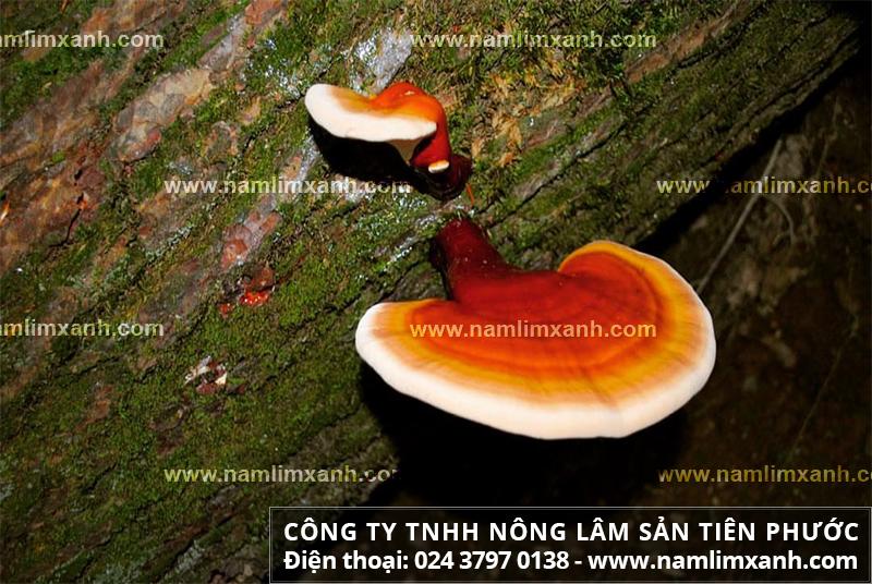 Nấm lim Quảng Nam là gì và tác dụng nấm lim xanh chữa bệnh ung thư gan