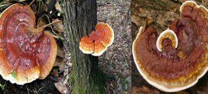 Nấm lim rừng là nấm gì? Tác dụng nấm rừng và cách dùng tốt nhất