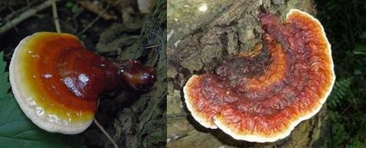 Trong thành phần của nấm lim xanh rừng có chứa các dược chất quý hiếm.