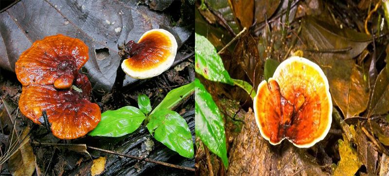 Nấm lim xanh chữa bệnh gout hiệu quả nhờ các dược chất quý từ thiên nhiên.