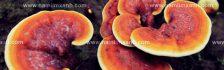 Nấm lim xanh chữa bệnh tiểu đường và cách dùng nấm lim chữa tiểu đường