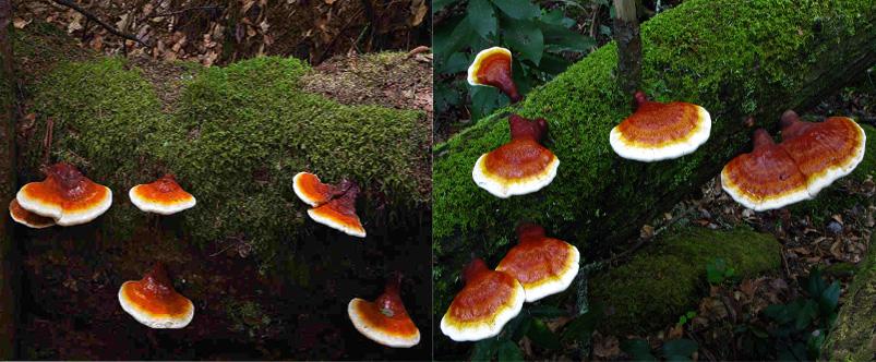 Nấm lim xanh có nhiều loại nhưng chỉ có 1 loại nấm mọc đặc hữu trên cây gỗ lim xanh mới có tên gọi nấm lim xanh.