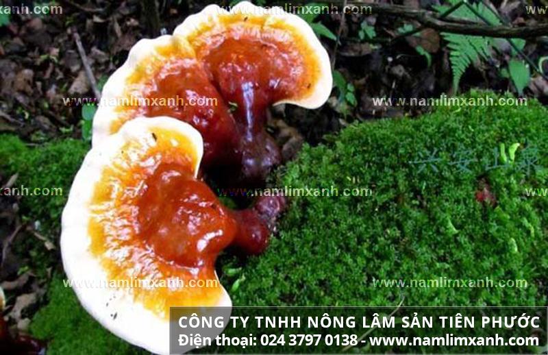Nấm lim xanh của Lào có tác dụng gì tác dụng nấm lim trị yếu sinh lý