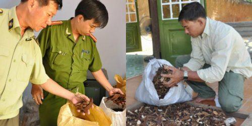 Nấm lim xanh của Nguyễn Đình Hoa bị cơ quan chức năng thu giữ