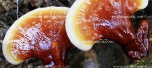 Nấm lim xanh Nông Lâm là gì và cách dùng nấm lim xanh rừng tự nhiên