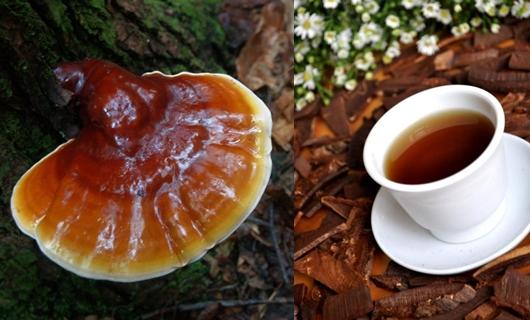 Uống nấm lim xanh Quảng Nam tác dụng hỗ trợ điều trị ung thư.
