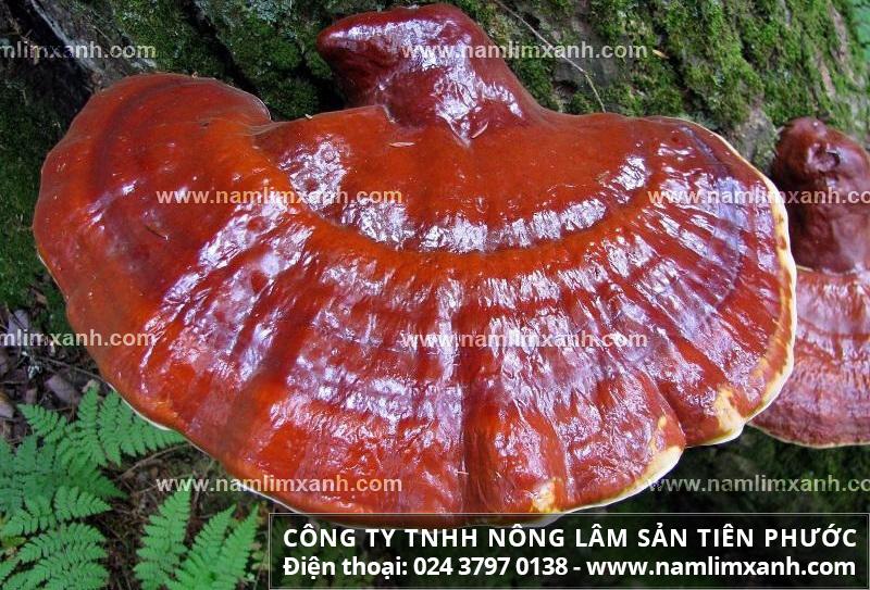 Nấm lim xanh Quảng Nam chính gốc mua ở đâu và hình ảnh nấm lim xanh