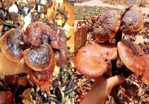 Nấm lim xanh rừng Thanh Hóa thường mọc thành cụm, kích thước nấm không đều nhau