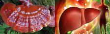 Nấm lim xanh trị bệnh gan như thế nào? Cách dùng nấm lim rừng