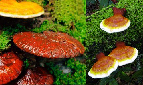 Nấm lim xanh và công dụng nấm lim xanh được chứng minh trong nhiều nghiên cứu khoa học