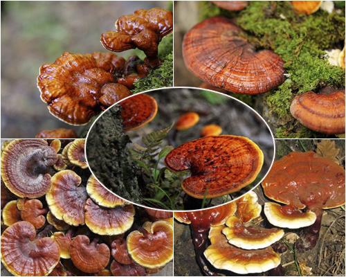 Nguồn gốc nấm lim rừng Quảng Nam có nhiều tác dụng với sức khỏe người dùng