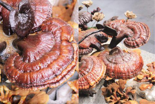 Nấm lim Lào có màu sắc đặc trưng, mùi thơm, thân nấm ngắn, tai nấm to