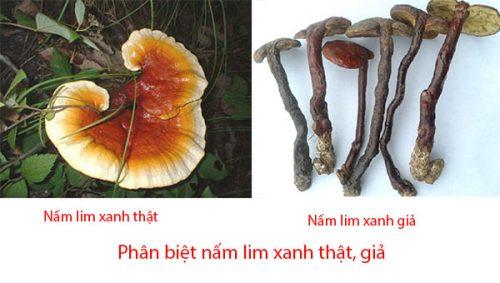 Nấm lim xanh thật có chân ngắn, mũ dày, trông mập mạp. Trong khi đó, nấm lim xanh giả có chân dài, mũ mỏng