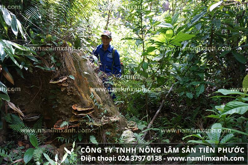 Nơi mua bán nấm lim xanh uy tín trên cả nước và mua bán nấm lim rừng