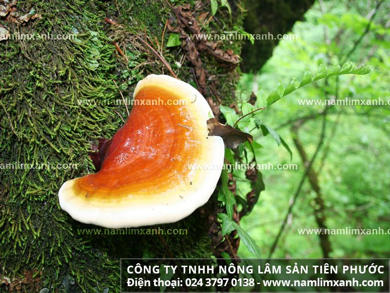 Phân biệt các loại nấm lim xanh và công dụng của nấm lim xanh rừng