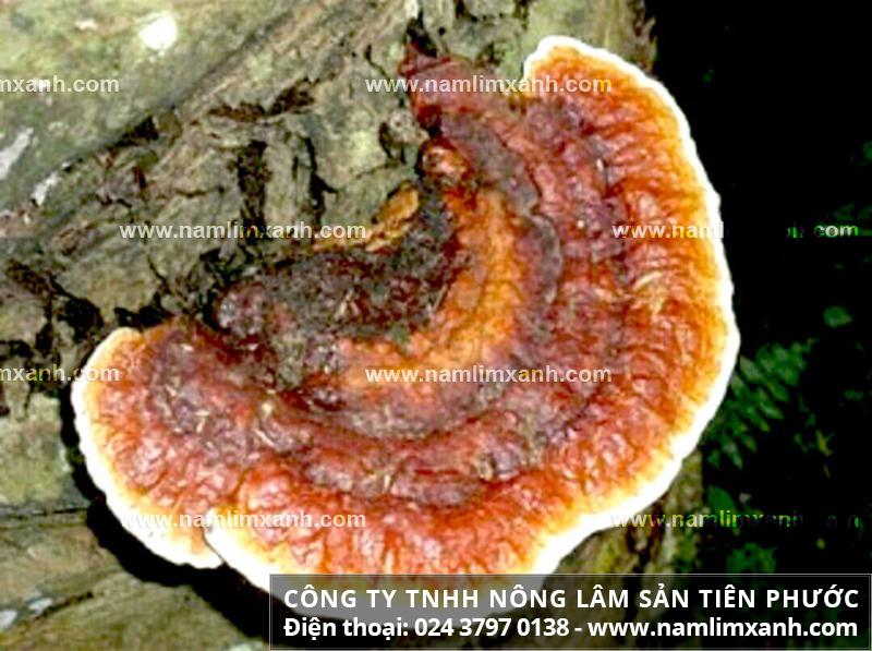 Phân biệt nấm lim xanh thật và nấm linh chi Trung Quốc với mua nấm lim
