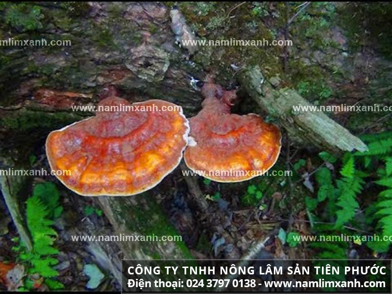 Phân biệt nấm lim xanh và nấm linh chi Trung Quốc với đặc điểm nấm lim