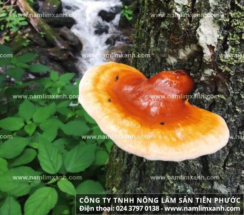 Tác dụng của nấm lim rừng tự nhiên làm đẹp da và uống nước sắc nấm lim