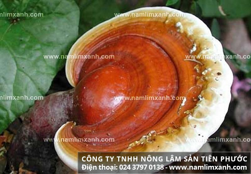 Tác dụng của nấm lim xanh chữa nhức mỏi cơ thể và sử dụng nấm lim rừng
