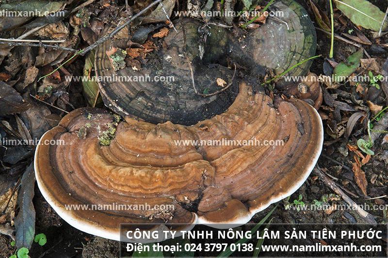 Tác dụng của nấm lim xanh chữa ung thư máu và dùng nấm cây lim xanh