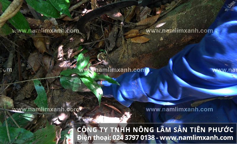 Tác dụng của nấm lim xanh đối với bệnh gan với uống nấm cây lim xanh