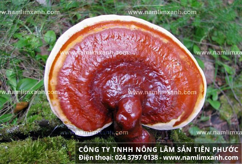 Tác hại của nấm lim xanh bị mọt và sử dụng nấm lim xanh rừng tự nhiên