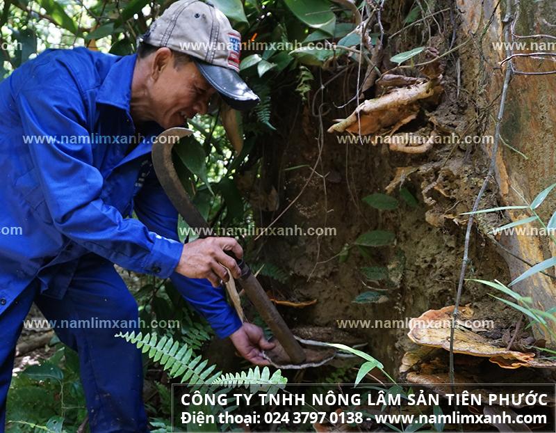 Tác hại của nấm lim xanh nuôi trồng và sử dụng nấm lim xanh đúng cách