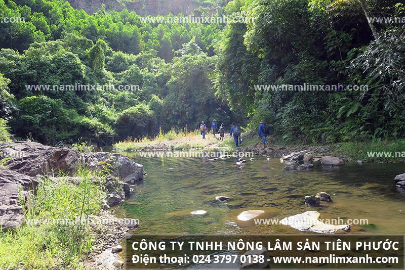 Thị trường bán nấm lim xanh Thanh Hóa với giá bán nấm cây lim xanh