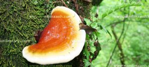 Nấm lim xanh wiki đánh giá thế nào và cách dùng nấm lim rừng chữa bệnh